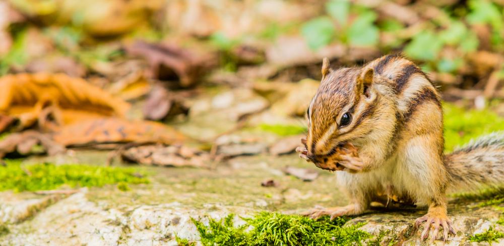 ecureuil-coree