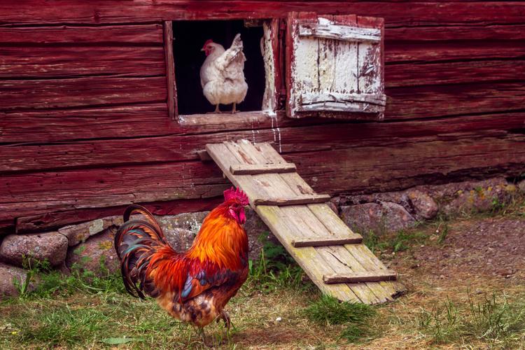 poule-coq-poulailler