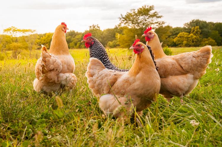 poules-exterieur
