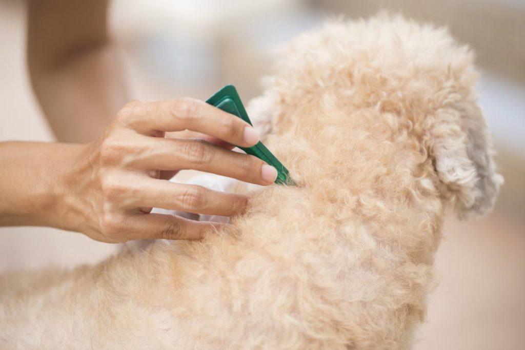 visuel-comment-prevenir-et-traiter-les-puces-chez-le-chien
